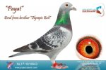 Racing pigeon for sale Payat