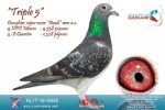 Racing pigeon for sale Triple 5