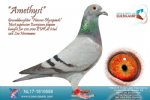 Racing pigeon for sale Amethyst