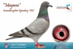 Racing pigeon for sale Maywen