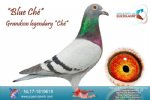 Racing pigeon for sale Blue Ché
