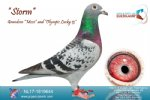 Racing pigeon for sale Storm