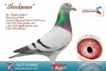 Racing pigeon for sale Shockwave