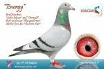 Racing pigeon for sale Energy