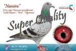Racing pigeon for sale Namira