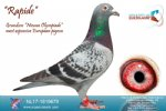 Racing pigeon for sale Rapide