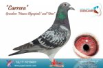 Racing pigeon for sale Carrera