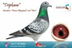 Racing pigeon for sale Triphane