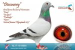 Racing pigeon for sale Discovery