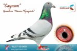 Racing pigeon for sale Cayman