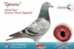 Racing pigeon for sale Epicurus