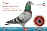 Racing pigeon for sale Faye