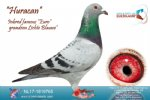 Racing pigeon for sale Huracan