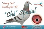 Racing pigeon for sale Lovely Ché