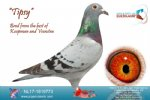 Racing pigeon for sale Tipsy