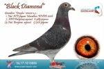 Racing pigeon for sale Black Diamond