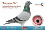 Racing pigeon for sale Maximus Ché