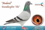 Racing pigeon for sale Ambriel