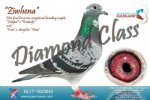 Racing pigeon for sale Ziwhena