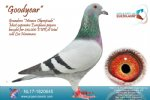 Racing pigeon for sale Goodyear