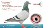 Racing pigeon for sale Gezuriya
