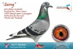 Racing pigeon for sale Sairey