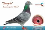 Racing pigeon for sale Qiangshe