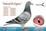 Racing pigeon for sale Inbred Di Caprio