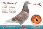 Racing pigeon for sale The Fortunate