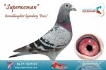 Racing pigeon for sale Superwoman