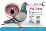 Racing pigeon for sale Miss Chicago