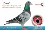 Racing pigeon for sale Lasar