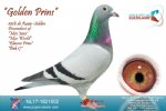 Racing pigeon for sale Golden Prins