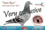 Racing pigeon for sale Twice Rossi