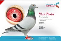 Racing pigeon for sale Blue Simba