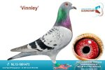 Racing pigeon for sale Vinnley
