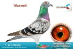 Racing pigeon for sale Maxwell