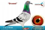 Racing pigeon for sale Brussel
