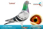 Racing pigeon for sale Lexus