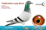 Halfbroer Lady Blois Sold