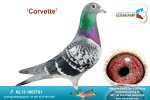 Racing pigeon for sale Corvette