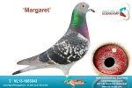 Racing pigeon for sale Margaret