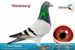 Racing pigeon for sale Winterberg