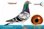 Racing pigeon for sale Oakland