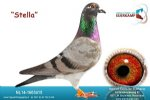 Racing pigeon for sale Stella