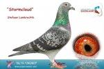 Racing pigeon for sale Stormcloud