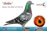 Racing pigeon for sale Sheldon