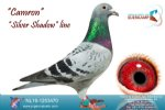 Racing pigeon for sale Camron