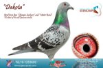 Racing pigeon for sale Dakota