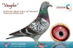 Racing pigeon for sale Vaughn